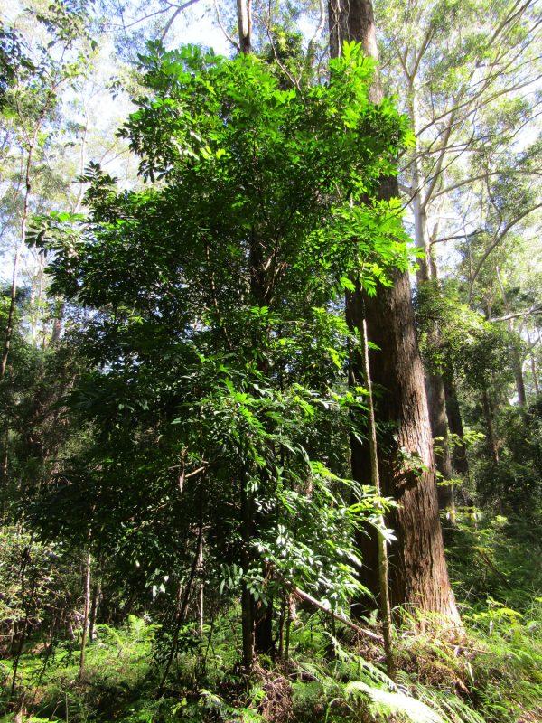 Synoum glandulosum, Scentless Rosewood