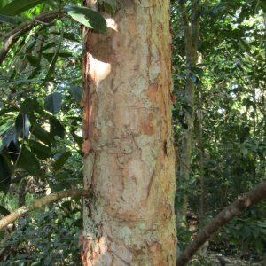 Syzygium alliiligneum, Onionwood