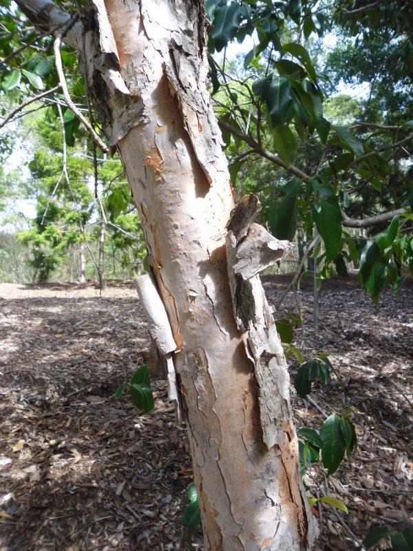 Syzygium forte, Flaky Bark Satinash