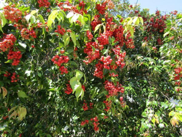 Syzygium luehmannii, Riberry