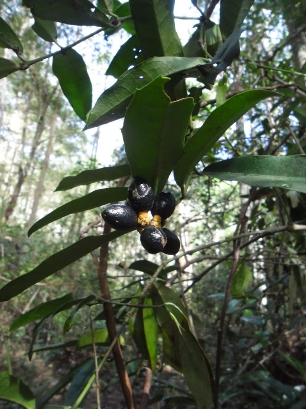 Wilkiea macrophylla, Large Leaved Wilkea