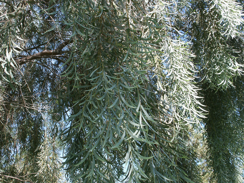Acacia Pendulaweeping Myall Paten Park Native Nursery