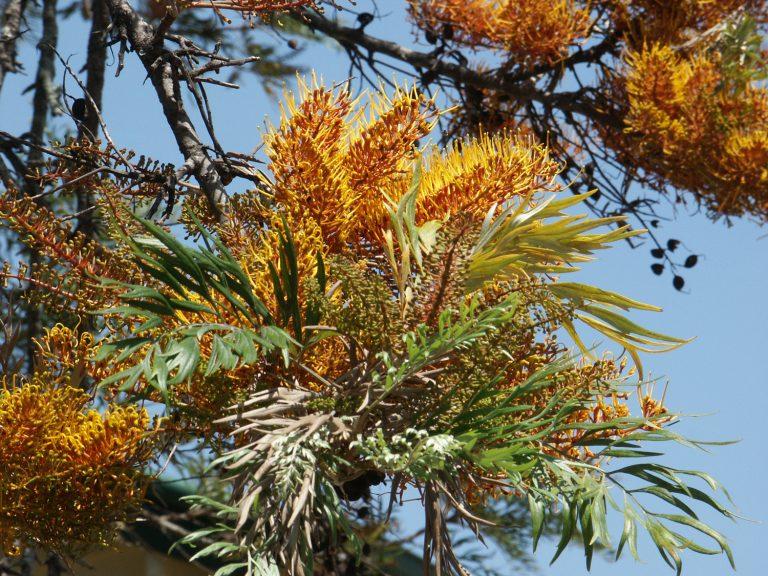 "Grevillea robusta""Silky Oak"" - Paten Park Native Nursery"