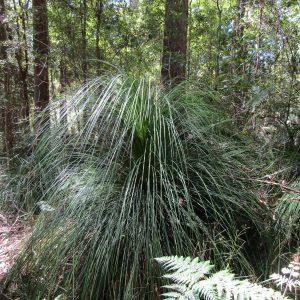 Xanthorrhoea latifolia, Grass Tree