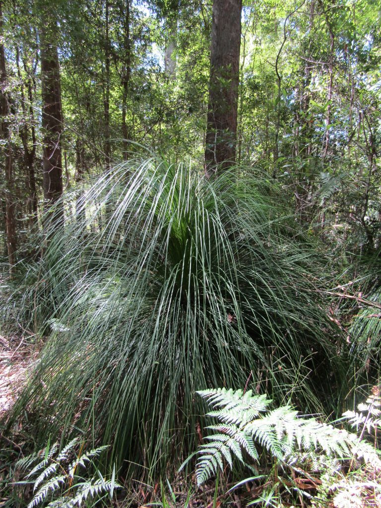 Xanthorrhoea latifolia, Grass Tree